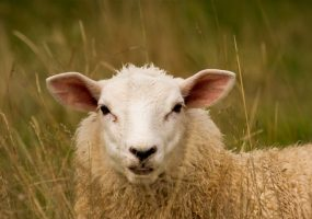 The weird sheep that baffled scientists
